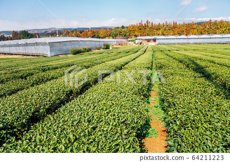 Green tea field in Jeju Island, Korea 64211223