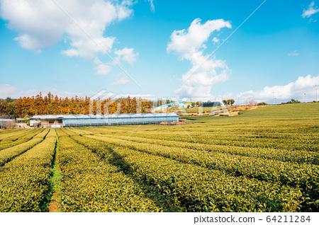 Green tea field in Jeju Island, Korea 64211284