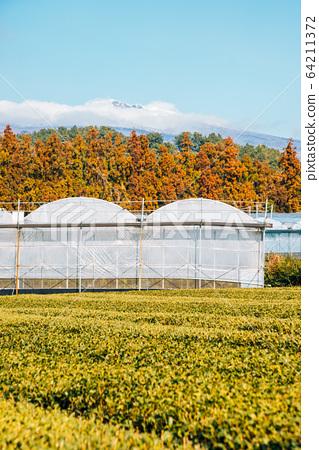 Green tea field and Snowy Hallasan mountain in Jeju Island, Korea 64211372