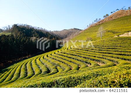 Boseong green tea field in Korea 64211581