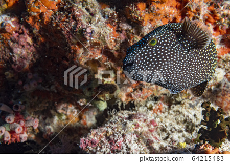 Puffer fish black white spotted 64215483