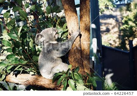 無尾熊正在吃樹葉 64226457