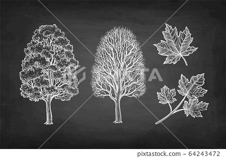 Chalk sketch of maple tree. 64243472