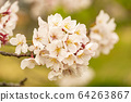 Yoshino cherry tree (sepia tone) 64263867