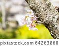 Yoshino cherry tree 64263868