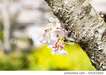Yoshino cherry tree 64263868