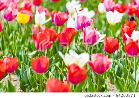 Tulip 64263871