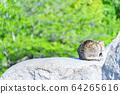 Cat 64265616