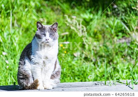 Cat 64265618