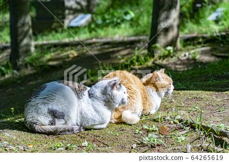 Cat 64265619