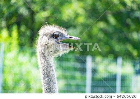 Ostrich 64265620