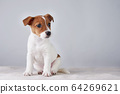 Jack Russel terrier puppy dog on the gray 64269621