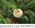 하얀 백작약꽃 한 송이 64280013
