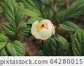 하얀 백작약꽃 한 송이 64280015