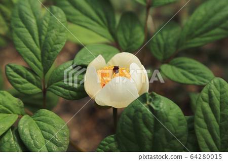 A white peony flower 64280015
