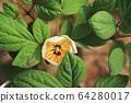 하얀 백작약꽃 한 송이 64280017