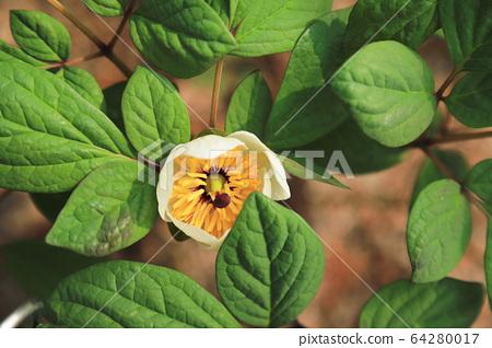 A white peony flower 64280017