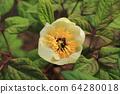 A white peony flower 64280018
