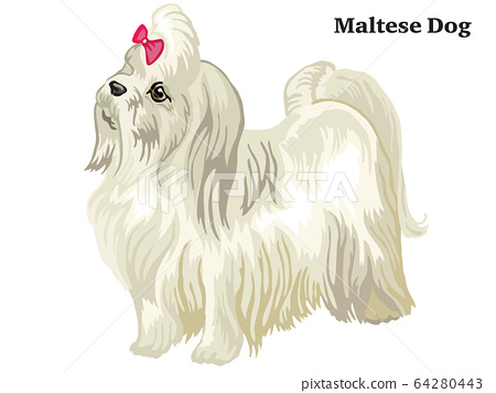 Colored decorative standing portrait of Maltese 64280443