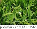 원추리잎에 앉은 배추흰나비 한 마리 64281565
