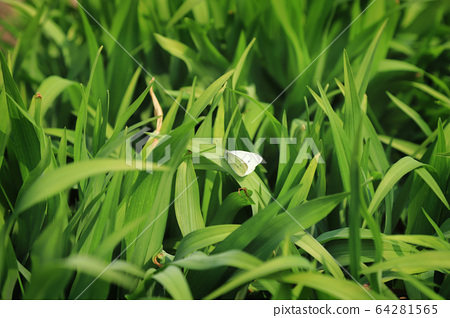 A cabbage white butterfly sitting on a leaf 64281565