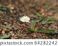 하얀 민들레꽃 한 송이 땅 바닥에 피다 64282242