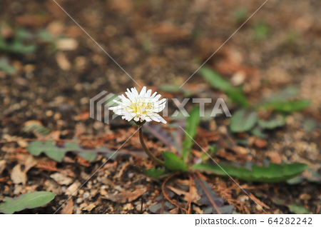 A white dandelion blooms on the ground 64282242