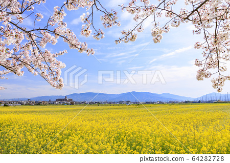 藤原宮 흔적 만개의 벚꽃과 유채 꽃 64282728