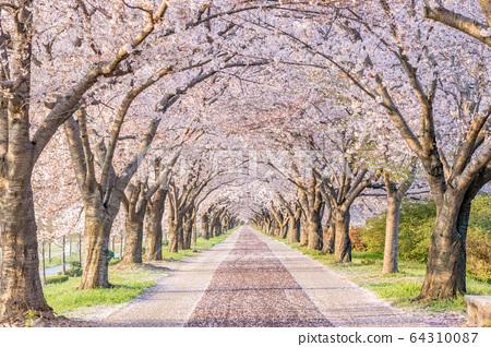 釜山麥克道生態公園的櫻花路 64310087