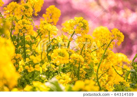 油菜田和川津櫻花樹,春天形象 64314589
