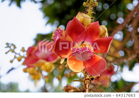 Blooming of cannon ball tree 64317663