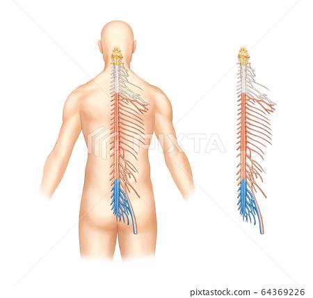 脊神經系統解剖 64369226