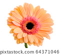 Orange-pink gerbera flower on white background 64371046