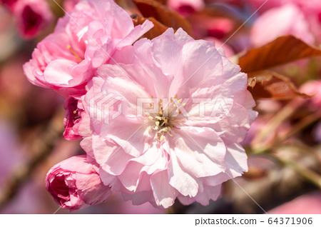 beautiful cherry blossom macro pink flower 64371906