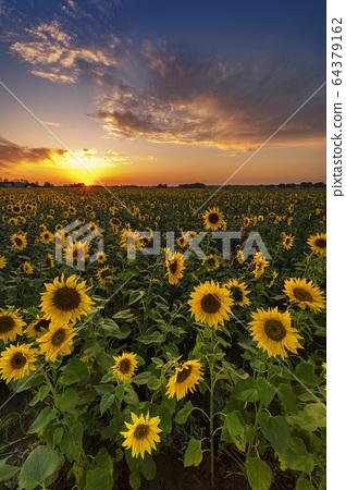 Beautiful sunset over sunflower field 64379162