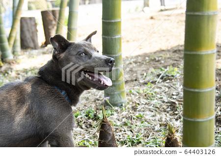 죽순과 강아지 죽순 죽순 죽순 개 핏불 애완 동물 죽림 대나무 자연 교외 64403126