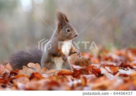 Hairy red common squirrel Sciurus vulgaris 64406437