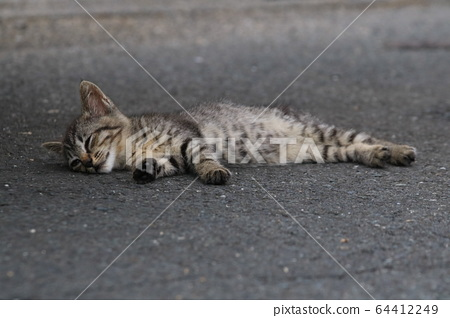 Pheasant kitten taking a nap on a shaded asphalt on a hot day 64412249