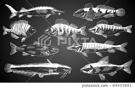 Hand drawn vector fish. Fish and seafood products store poster. Can use as restaurant fish menu or fishing club background banner. Sketch trout, carp, tuna, herring, flounder, anchovy 64433891