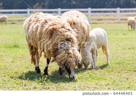 Sheeps in a meadow farm of Thailand. 64446405