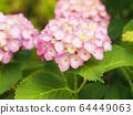 粉紅繡球(右下角有更多字符空間) 64449063