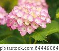 粉紅繡球柔和柔和的圖像(放大,背景模糊) 64449064