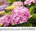 粉紅繡球花場(背景中的多朵花,模糊的背景) 64449065