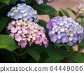 繡球花的三種顏色:粉色,紫色,藍色 64449066