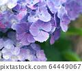 紫色繡球花瓣關閉 64449067