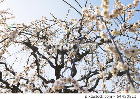 Plum blossom 64450813