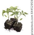 tomato seedlin in studio 64452959
