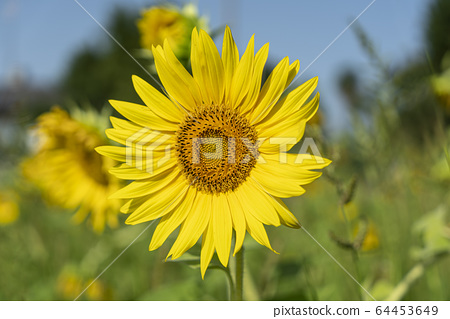 The sunflower 64453649