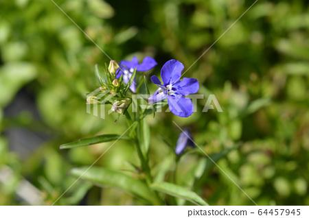 Garden lobelia 64457945