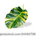 green leaves pattern of Epipremnum aureum foliage 64460796